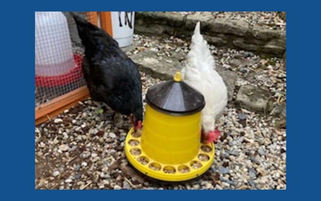 Agapoules, les poules du RSE d'Agaphone